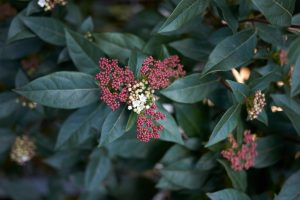 Good hedge plant