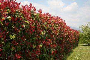 Fast hedge plant