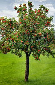 apple tree in canberra